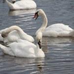 Mute swan — Stock Photo #40036295