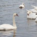 Mute swan — Stock Photo #40038753
