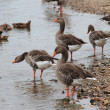 Stock Photo: Wild geese