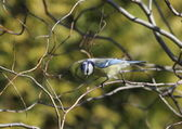 Blue tit sitting in a tree on branch — Stock Photo
