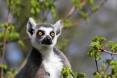 Lemurs with juveniles — Foto Stock