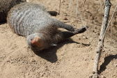 Sand banded Mongoose with juvenile — Stock Photo