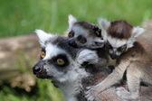 Lemurer med ungdomar — Stockfoto