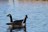 Two Canada geese — Stock Photo