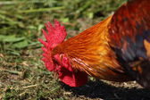 Rooster head — Stock Photo