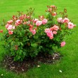 Shrub roses - Stock Photo