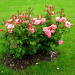 Foto de Stock  : Shrub roses