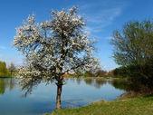 樱桃树 — 图库照片