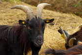 Black goat — Photo