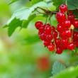 Redcurrants — Stock Photo