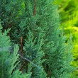 Stock Photo: Thuja