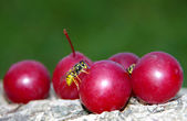 Wasp on a plum. — Stock Photo