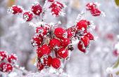 Frozen rose hips — Stock Photo