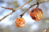 Frozen and dried apple on the tree — Stock Photo