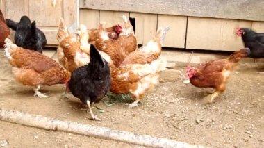 鶏をフィードします。 — ストックビデオ