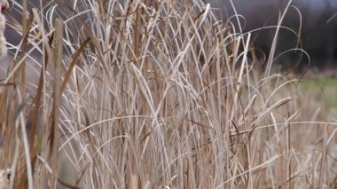 Reeds on the bank of a pond — Stock Video