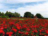 кровати из роз — Стоковое фото