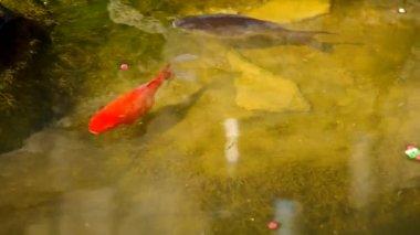Peces en el estanque de jardín — Vídeo de Stock