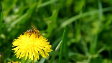 Bee on yellow dandelion — Stock Video