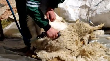 Man shearing a sheep in the corral — Stock Video