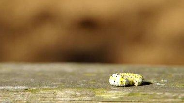Caterpillar och spider — Stockvideo