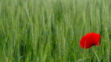 Corn poppy in wheat field — Stock Video