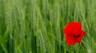 Corn poppy in wheat field — Stock Video