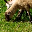 Sheep and goat grazing — Stock Video #48692821