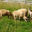 Sheep and goat grazing — Stock Video #48692995