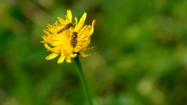 Two bees on a yellow flower — Stock Video