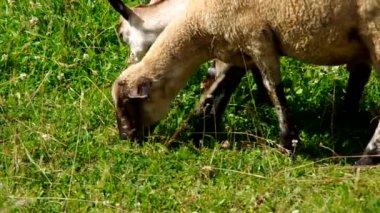 Овец и коз выпаса — Стоковое видео