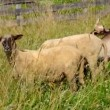 Sheep and goat grazing — Stock Video #48778843