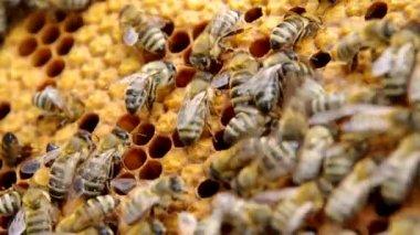 Bijen op de honingraat — Stockvideo