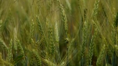 Green wheat in the wind — Stock video