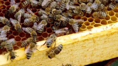 Queen bee på honeycomb — Stockvideo
