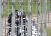 Pigeon in captivity in a cage — Stock Photo