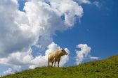 Cow on alpine pasture — Stock Photo