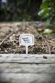 裏庭の庭に植えたそら豆 — ストック写真