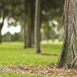 Tree in parklands — Stock Photo