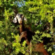 Moroccan goat in argan tree - Stock Photo