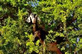Moroccan goat in argan tree — Stock Photo