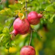 Pomegranate fruits on tree branch — Stock Photo