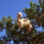 Moroccan goat in argan tree — Stock Photo #45207221