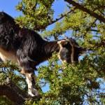 Moroccan goat in argan tree — Stock Photo #45207381