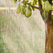 Постер, плакат: A pear tree in the pouring rain Green pear fruits with water drops on the branch Orchard