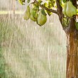 Stock Photo: Pear tree in pouring rain. Green pear fruits with water drops on branch. Orchard
