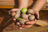 Walnuts on the hands, handful of walnuts — Stock Photo