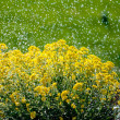 Wild flowers in rain — Stock Photo