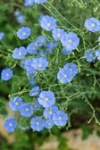 Mavi keten çiçekler — Stok fotoğraf