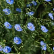 Flax flowers — Stock Photo #41018167